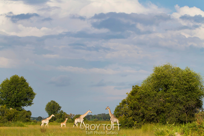 Scenic view of a group of giraffes amonst the trees under threatening clouds, Botswana, Africa