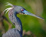 Tri-colored Heron, Osceola County, Florida