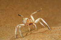 White Lady Spider (Leucorchestris arenicola) in defensive threat display Namib Desert sand dune, Namibia.