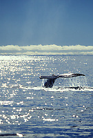 Humpback whale sounds as the water glistens in the sunshine, Prince William Sound, Alaska