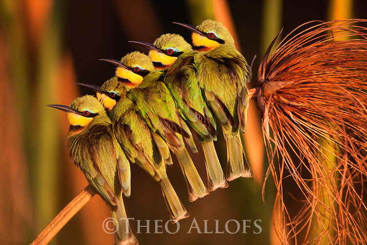 Botswana, Moremi Game Reserve, Okavango Delta, Little bee-eaters (Merops pusillus) huddling together on papyrus branch at sunrise