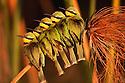 Botswana, Moremi Game Reserve, Okavango Delta, Little bee-eaters (Merops pusillus) huddling together on papyrus branch at sunrise