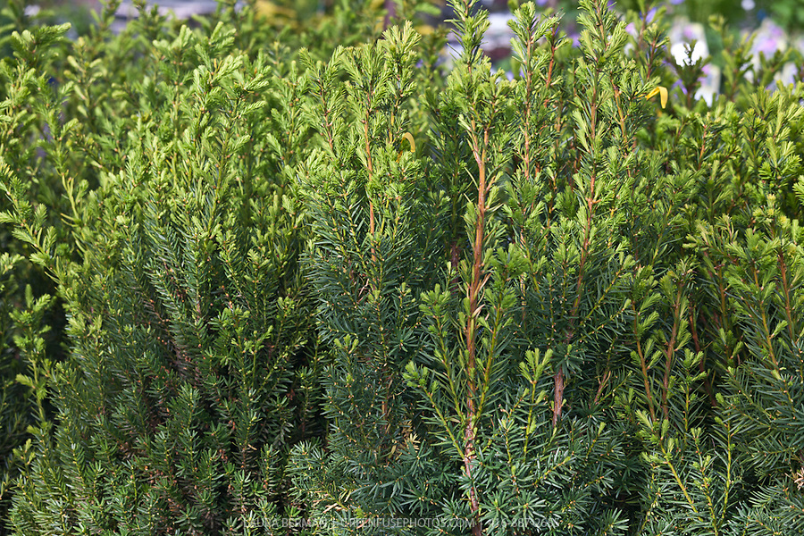 hick 39 s yew taxus x media 39 hicksii 39 greenfuse photos. Black Bedroom Furniture Sets. Home Design Ideas