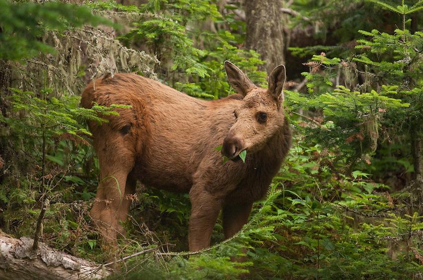 A moose calf at Isle Royale Nationa Park.