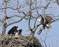 Adult bald eagle brings a duck to a happy eaglet.
