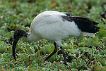 Sacred Ibis, Threskiornis aethiopicus, Lake Awasa, Ethiopia, fishing in reedbed, Africa