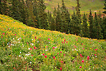 A Profusion of Wildflowers Blooming in Porphyry Basin San Juan Mountains, Colorado