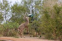 625350323 a wild whitetail deer buck odocoileus virginianus attempts to eat grain from a bird feeder on betos ranch hidalgo county rio grande valley texas united states