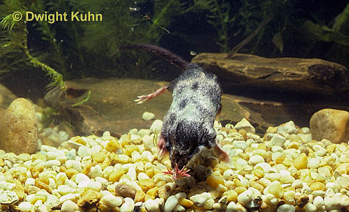 MB14-024x  Star-nosed Mole - swimming in a pool of  water - Condylura cristata