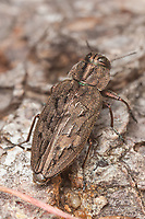 A Metallic Wood-boring Beetle (Chrysobothris scabripennis) perches on the trunk of a dead pine tree.