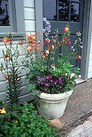 Spring container flower garden with Aquilegia columbine, viola pansies, Dicentra bleeding hearts, campanula, on front steps by house door entrance, and lilies in bud. Blue house.