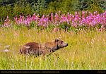 Alaskan Coastal Brown Bear in Sedge Grass with Fireweed, Silver Salmon Creek, Lake Clark National Park, Alaska