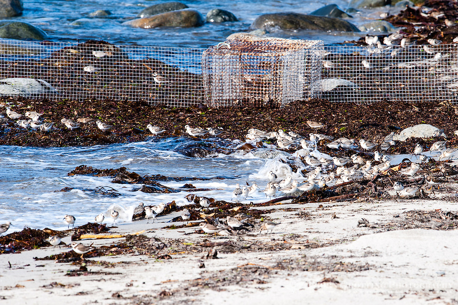 Traps for catching and bird ringing in the background. A flock of Sanderling's in the foreground. At Revtangen on Jaeren, south west Norway.