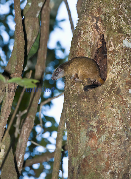 Yellow-crowned Brush-tailed Rat (Isothrix bistriata) emerging from its den in a tree cavity, Tamshiyacu-Tahuayo Reserve, Peru.