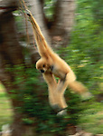 White-handed gibbon swinging from a vine, Indonesia