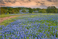 Along Highway 71, I found this field of bluebonnets at sunrise in the Texas Hill Country