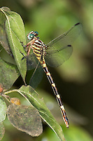 341750008 a wild female ringed forceptail phyllocycla breviphylla a fairly rare dragonfly in santa ana national wildlife refuge in south texas