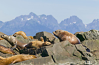 Steller's Sea Lions, Prince William Sound, Alaska