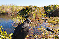 An American Black Vulture (Coragyps atratus) watches American alligators (Alligator mississippiensis) basking in the sun in the marshy part of a slough near the Anhinga Trail in Everglades National Park, Florida.