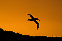 Silhouette, a bird in flight over the South Atlantic Oeaan, South Georgia.