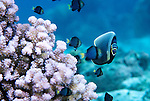 Moorea, French Polynesia; a school of and Yellow-tailed Dascyllus (Dascyllus flavicaudus) and a Reticulated Butterflyfish (Chaetodon reticulatus), solitary, in pairs or aggregations, found exposed outer reefs to 30 meters, in the Pacific Ocean region, N. Sulawesi to Indonesia, Philippines, Micronesia to Hawaii and French Polynesia. S.W. Japan to N.E. Australia, to 16 cm , Copyright © Matthew Meier, matthewmeierphoto.com All Rights Reserved