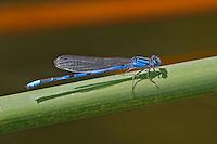 320240004 a wild familiar bluet enallagma civile perches on a cattail reed along piru creek in los angeles couny california
