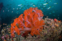 Neon Soft Corals and Fusiliers