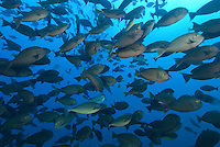 A densely packed school of Yellowmask Surgeonfish, Acanthurus mata, and Gray Unicornfish, Naso caesius, swarm on the outskirts of the appropriately named Fish Rock, Passage Island, Andaman Islands, Andaman Sea; India