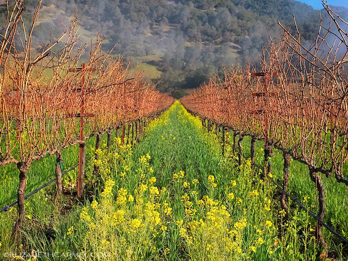 Calistoga Mustard Bloom