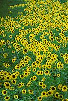 Meadow of sunflowers