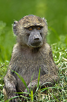 Young Olive Baboon, Lake Nakuru National Park, Kenya