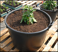 BNPS.co.uk (01202 558833)<br /> LauraJones/BNPS<br /> <br /> Red hot record...<br /> <br /> Tree of fire turns into pot of gold - Dorset Chilli farmer Joy Michaud is hoping she has set a new world record after collecting an astonshing 2407 chilli's from one bush at the weekend.<br /> <br /> The Dorset Naga chilli tree when it was planted on the 7th June this year. <br /> <br /> Its been a bumper year for chilli's and farmer Joy Michaud has grown a 'tree of fire' with over two thousand of the worlds hottest on it.<br /> <br /> The average chilli 's heat is measured at 30,000 scovell's but the legendary Dorset Naga has been measured at 1.2 million scovel's.<br /> <br /> With that in mind great care has to be taken when handling the explosive crop.<br /> <br /> Joy said 'growing conditions have been perfect this year and  I have never seen a chilli tree this big before, its astonishing.'