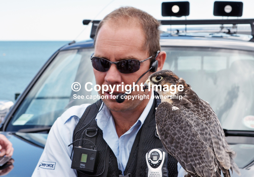 Raptorforce handler with peregrine falcon which he used in a pest control demonstration on the seafront at Sidmouth, Devon, on 8th July 2014. The pest in this case was seagulls. For more information go to www.raptorforce.com. 201407083393<br />
