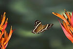 Banded Peacock or Fatima Butterfly, Anartia fatima, in flight, Costa Rica, High Speed photographic technique, free flying, brown with white band and red patch.Central America....