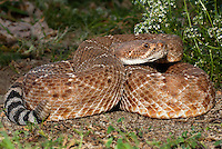 467300008 a captive red diamond rattlesnake crotalus ruber lays coiled in grassy brush - animal is a captive animal - species is native to the southwestern united states