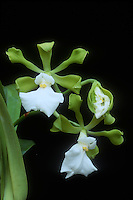 Encyclia cordigera semi-alba form, aka atropurpurea alba, Orchid species