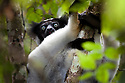 Indri {Indri indri} in tropical rainforest, Andasibe-Mantadia National Park, Eastern Madagascar. IUCN Endangered Species.