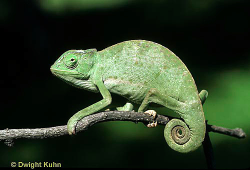 CH23-010z  African Chameleon - puffed up male,  warning off intruder, curled tail - Chameleo senegalensis