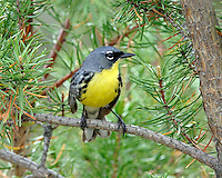 A male Kirtland's Warbler in Jack Pine, Oscoda Co. (Michigan)
