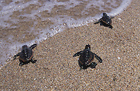 na868. Loggerhead Sea Turtle hatchlings (Caretta caretta). Florida, USA, Atlantic Ocean..Photo Copyright © Brandon Cole. All rights reserved worldwide.  www.brandoncole.com..This photo is NOT free. It is NOT in the public domain. This photo is a Copyrighted Work, registered with the US Copyright Office. .Rights to reproduction of photograph granted only upon payment in full of agreed upon licensing fee. Any use of this photo prior to such payment is an infringement of copyright and punishable by fines up to  $150,000 USD...Brandon Cole.MARINE PHOTOGRAPHY.http://www.brandoncole.com.email: brandoncole@msn.com.4917 N. Boeing Rd..Spokane Valley, WA  99206  USA.tel: 509-535-3489