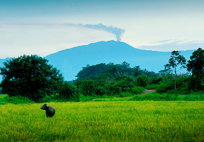 Water buffalo stands in a rice field and in the background an erupting Turrialba Volcano continues its recent activity.