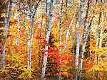 Birch tree forest colorful autumn nature scenery. Ontario, Canada.