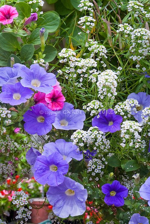 White Lobularia sweet alyssum, blue petunias, pink calibrachoa, in annual flowers container planting combination