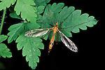 Cranefly, Daddy Long Legs, Tipula paludosa.United Kingdom....