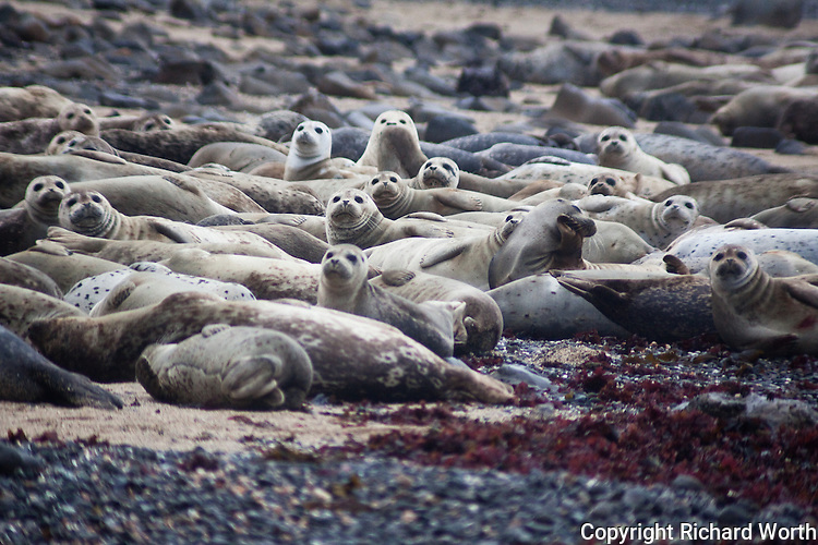 When high tide covers the rocks off shore, harbor seals haul out onto the beach at the Fitzgerald Marine Reserve, Moss Beach, California.