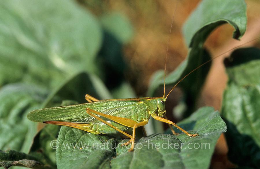 Grünes Heupferd, Weibchen mit langem Legebohrer, Großes Heupferd, Großes Grünes Heupferd, Grüne Laubheuschrecke, Tettigonia viridissima, Great Green Bush-Cricket, Green Bush-Cricket, female