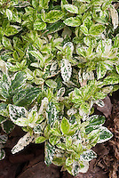 Euonymus fortunei Harlequin
