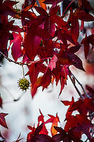Bright red leaves and a dangling green seed pod give this tree a seasonal twist.