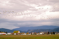 Snow Geese flying over Skagit Valley. Skagit County, Washington.