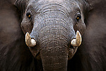 An African elephant's tusks are used for defense, digging for roots, stripping bark, and fighting during mating season.